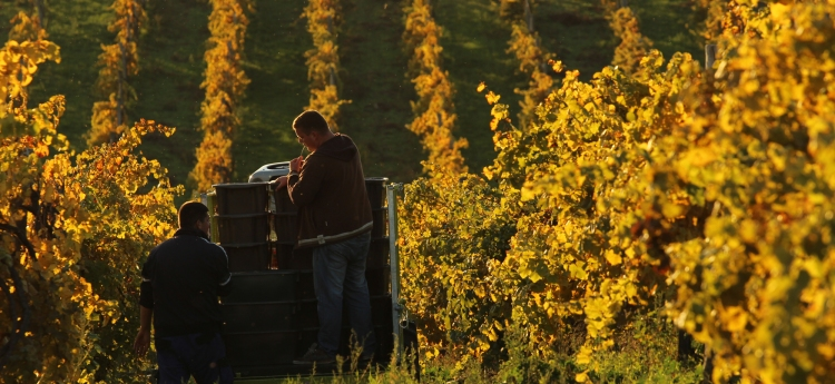 Riesling harvest in the sunny October of 2013